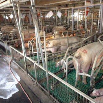 Дезінфекція свиноферм, птахокомплексів, фермерських приміщень.