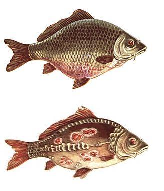 Краснуха в риб