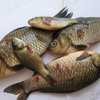 Краснуха у риб
