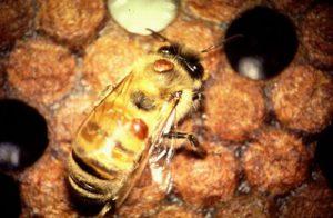 Varroa Jacobsoni бджолиний кліщ